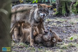 Anholt_Wolf-4673