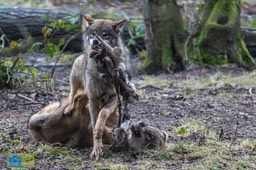Anholt_Wolf-4677