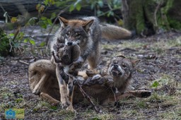 Anholt_Wolf-4678