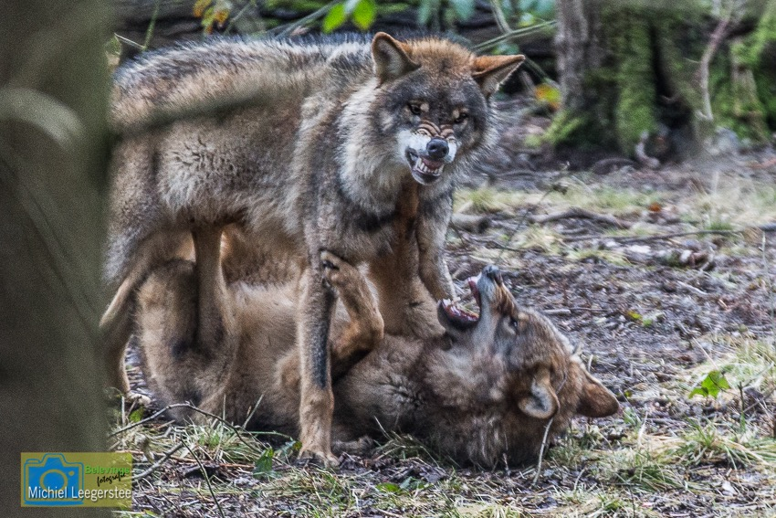 BF_Anholt_Wolf-4673
